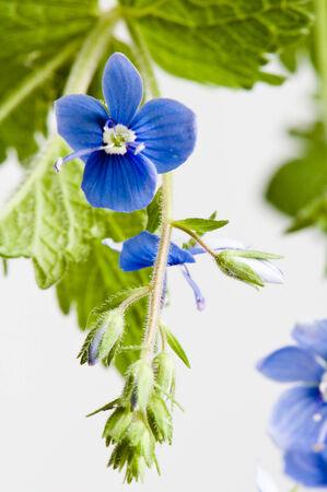 field of flower: Fiore di campo blu scuro, � isolato su bianco Archivio Fotografico