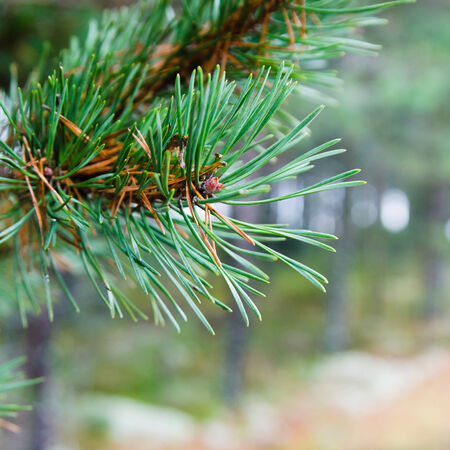 Branch of a pine, close up photo