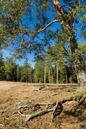 coalesce: Spring landscape in a pine wood