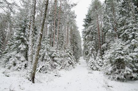 Winter snow covered trees. Viitna, Estonia. photo