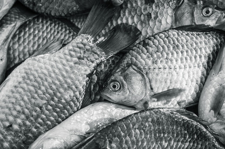 Bream close-up. Black and white photo, toning photo