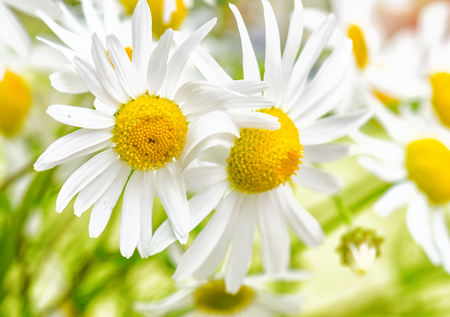 Bouquet of wild daisies, close-up photo