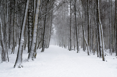 Snow covered tree trunks. Winter alley photo
