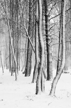 Snow covered tree trunks close-up photo