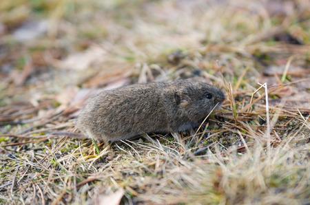 vole: Mouse woelmuis, close-up