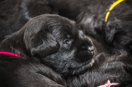 miniature breed: Peque�o grupo de raza puppi Schnauzer miniatura Foto de archivo