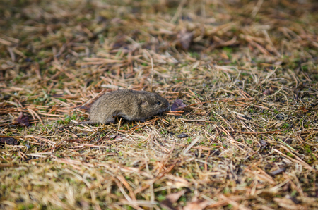 vole: Mouse vole, close-up