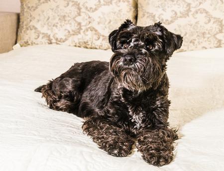 miniature breed: perro de raza Schnauzer miniatura