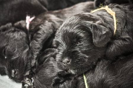 miniature breed: Small group puppi breed Miniature Schnauzer