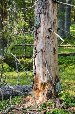 worm infestation: Damaged wood pest tree in the forest, close-up Stock Photo