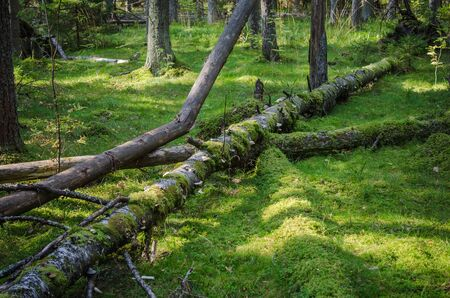 natural backgrounds: Damaged wood pests and fallen trees in the forest