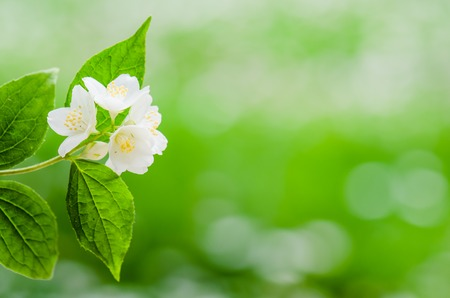 jasmine bush: Blooming jasmine bush, close-up Stock Photo