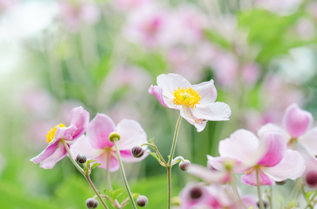 Japanese Anemone flowers in the garden, close up.  Note: Shallow depth of field Stock Photo