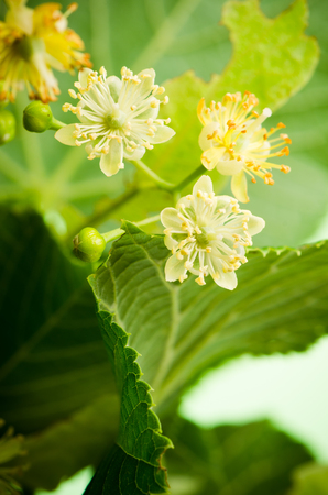 limetree: Flowers of lime, close-up