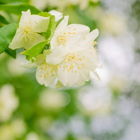 jasmine bush: Blooming jasmine bush, close up. Nature background Stock Photo