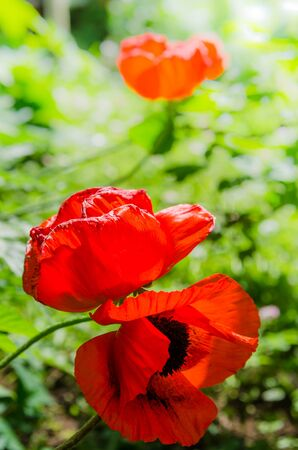 revealed: The revealed Decorative   red poppies, close up Stock Photo
