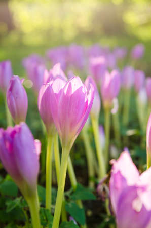 Pink blossoming crocuses in the garden, close up Stock Photo
