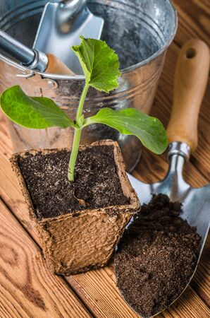 Seedlings zucchini and garden tools on a wooden surface Stock Photo