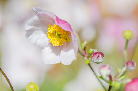 Pale pink flower Japanese anemone, close-up Stock Photo