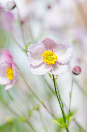yellow stamens: Pale pink flower Japanese anemone, close-up Stock Photo