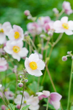 Pale pink flower Japanese anemone, close-up. Note: Shallow depth of field