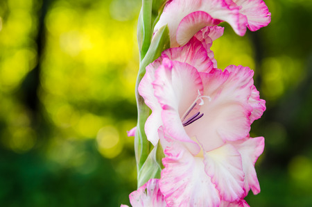 Light pink gladiolus flower, close-up  ** Note: Shallow depth of field Stock Photo