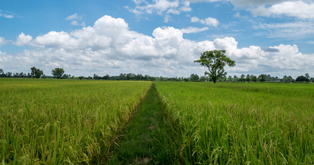 distinct: Distinct difference. Walkway of rice paddies between rice paddies and yellow paddy fields. The background consists of forests and bright blue sky with white clouds.
