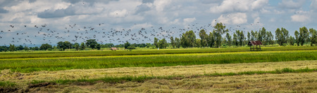 Panorama landscape. A flock of dove and mynas in rice field.