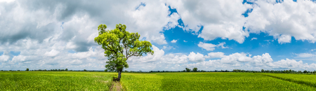 Panorama Landscape. Amazing and beautiful the shade big tree standing in the green rice field with the fresh green bushes as the background in the good day of blue sky and white cloud. Phitsanulok, Thailand.