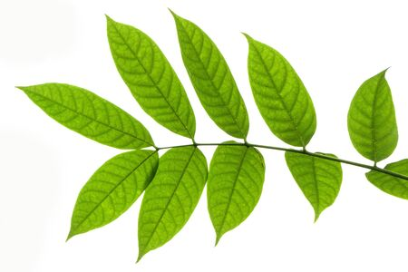 Beautiful green walnut leaves on white background with copy space