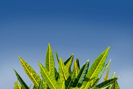 Beautiful codiaeum variegatum or croton, colorful leaves on blue sky and cloud background with copyspace