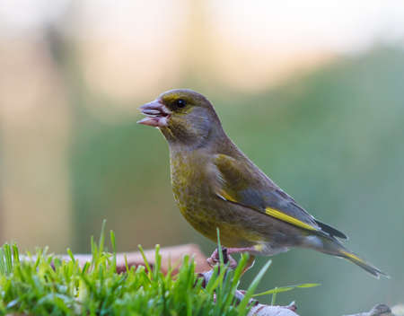 greenfinch: greenfinch eating seeds