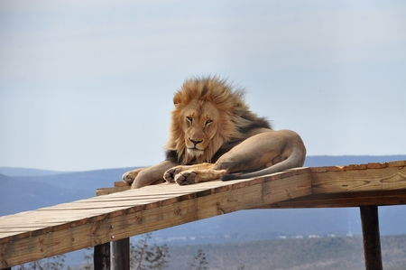 Lion resting on a scaffold