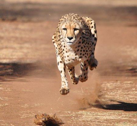 Corriendo guepardo