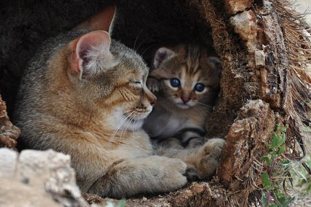 African Wild Cat Louise with her kitten