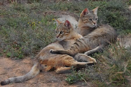 African Wild Cats, best friends