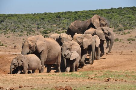 An elephant herd going towards the water