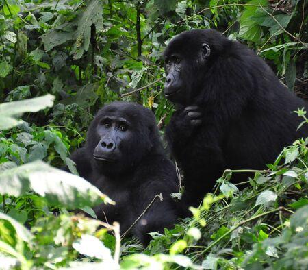Two gorillas in the Virunga mountains 版權商用圖片