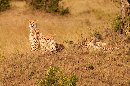 Cheetah family on a small hill