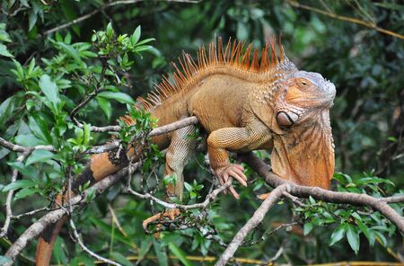 A big iguana on a tree in Costa Rica Imagens