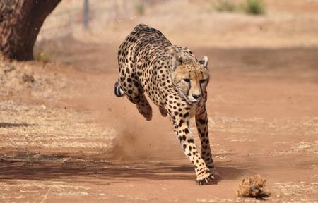 Oefenen en rennen van een jachtluipaard