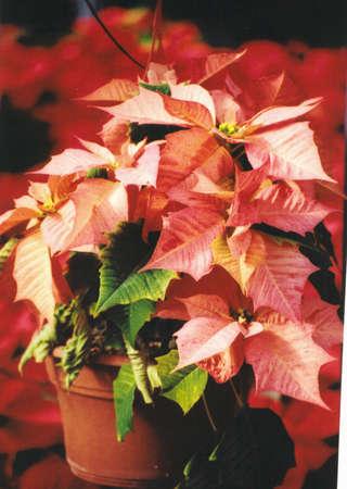 Soft Peppermint Color Davinci Poinsettia