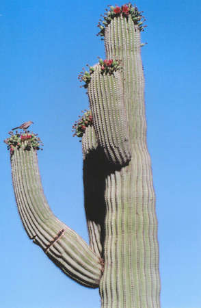 Saguaro Cactus Buds