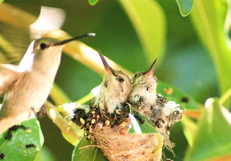 Mother Humming Bird Feeding her Babies