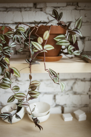 workroom: Beautiful plant in ceramic pot on wooden shelf with white brick wall on background in workshop
