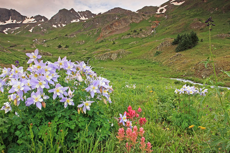 Colorado columbine in the Rocky Mountains at American Basin. 版權商用圖片