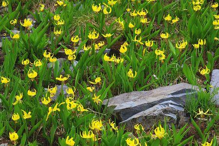 Glacier Lillies in the Colorado Rocky Mountains Stock Photo