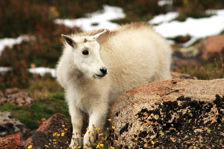 baby goat: Baby Mountain Goat on Mt. Evans nBaby ear Denver, Colorado