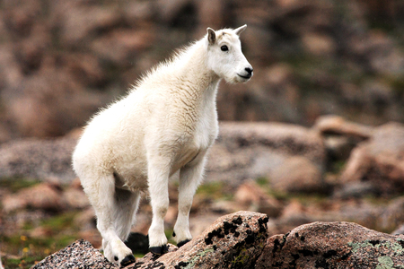 Baby Mountain Goat on Mt. Evans near Denver, Colorado Stock Photo