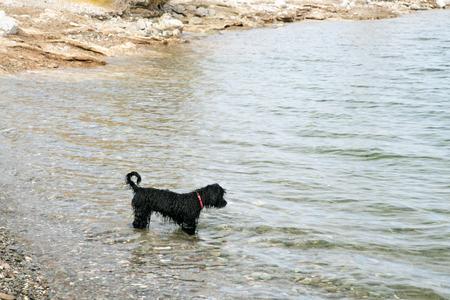 Portuguese Water Dog puppy in Lake Pleasant near Phoenix, Arizona